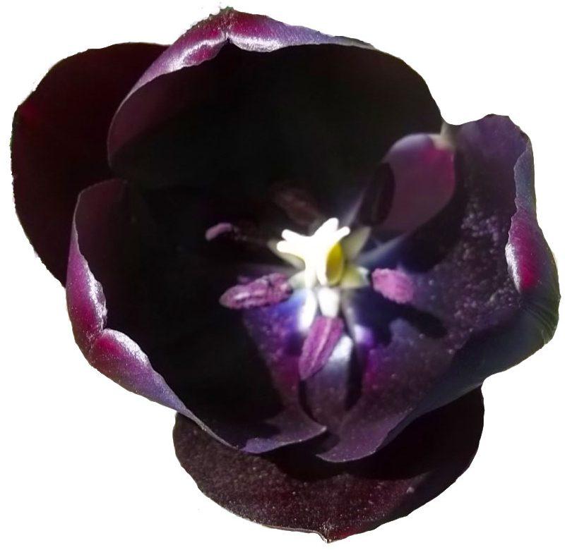 Suicidal Tulip